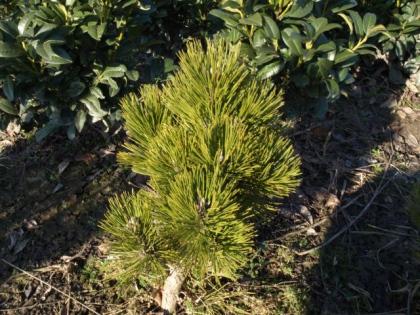 Pinus leuc.´Compact Gem´