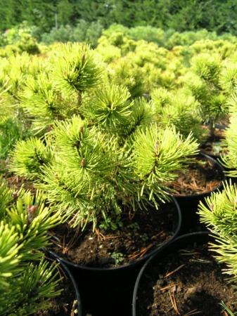 Pinus mugo´Ophir´