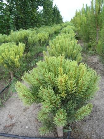 Pinus sylvestris´Watereri´
