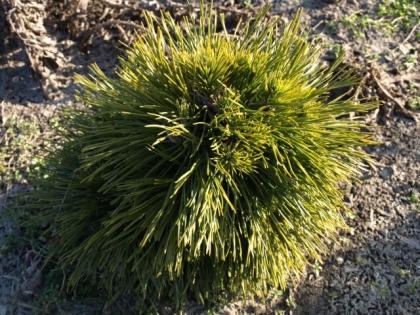 Pinus mugo´Varella´