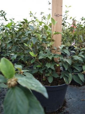 Viburnum burkw.´Eskimo´