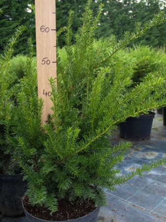 Taxus baccata´Zold´
