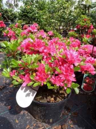 Azalea japonica v kultivaroch