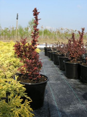 Berberis thunb.´Red Rocket´