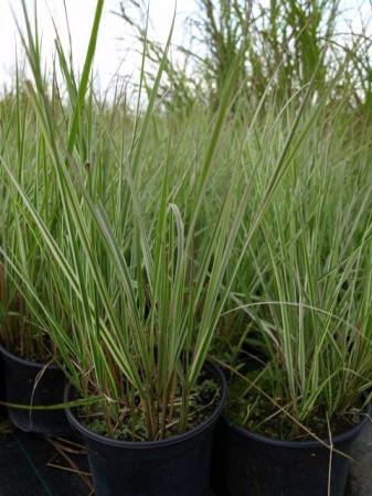 Calamagrostis x ac.´Overdam´