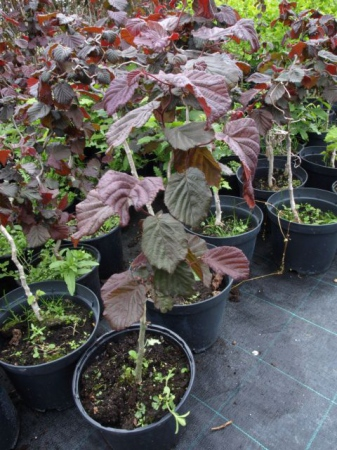Corylus avell.´Red majestic´