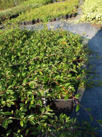Cotoneaster damm. v. radicans