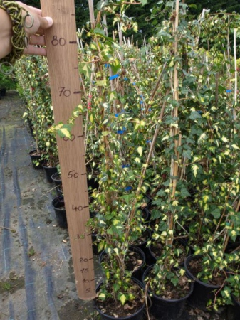 Hedera helix´Gold Heart´