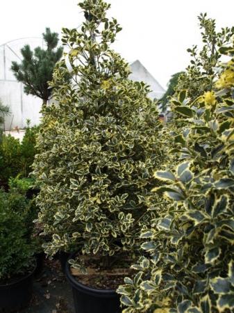 Ilex aquifolium ´Variegatum´