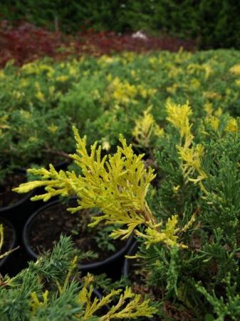 Juniperus dav.´Exp. Variegata´