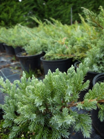 Juniperus sq.´Blue Carpet´