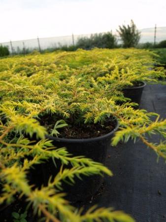 Juniperus comm.´Depr.Aurea´