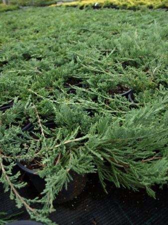 Juniperus hor.´Wiltonii´