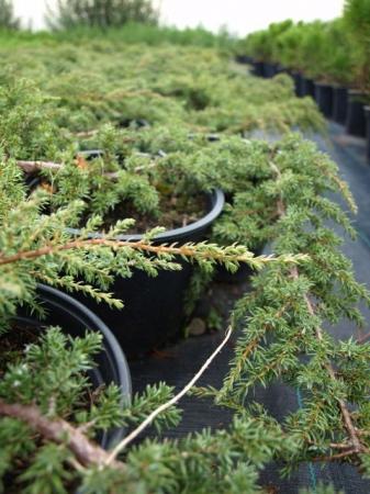 Juniperus comm.´Repanda´