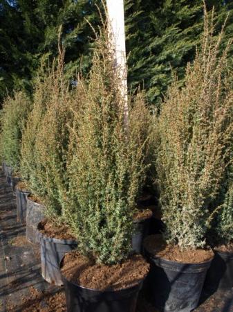 Juniperus comm.´Sentinel´