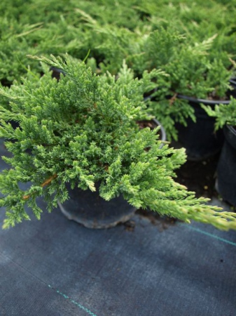 Juniperus hor.´Prince of Wales´