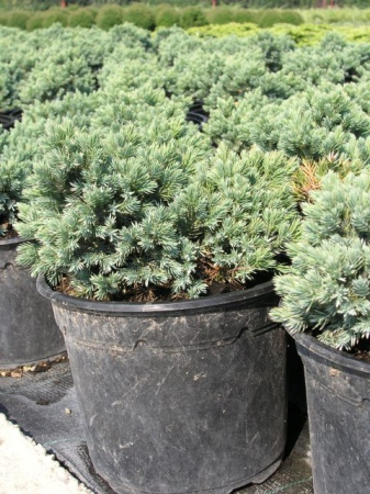 Juniperus sq.´Blue Star´