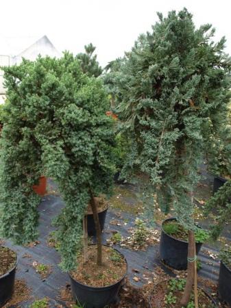Juniperus na kmieniku