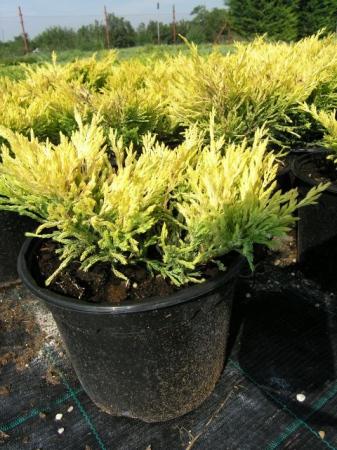 Juniperus hor.´Lime Glow´