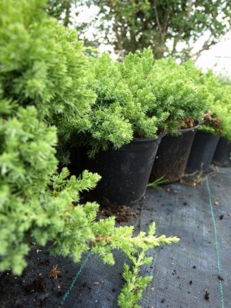 Juniperus proc.´Nana´