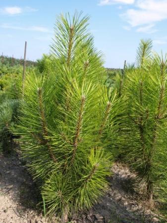 Pinus nigra´Pyramidalis´