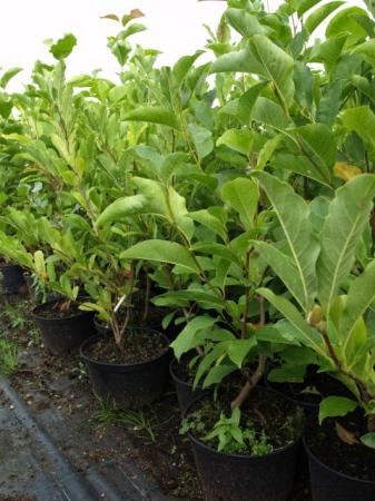 Magnolia v kultivaroch
