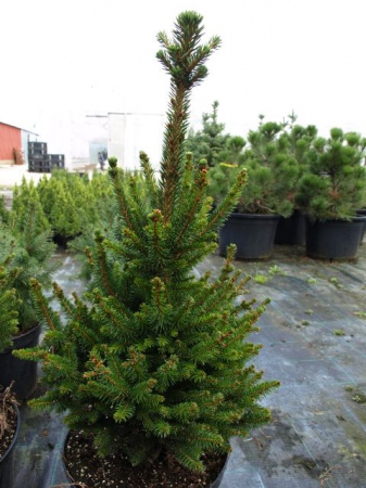 Picea abies ´Wills Zwerg´