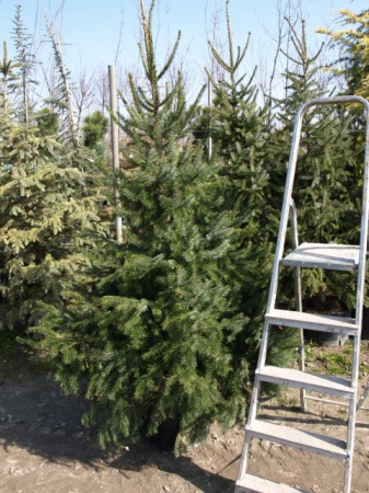 Picea omoriká