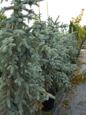 Picea pungens´Koster´