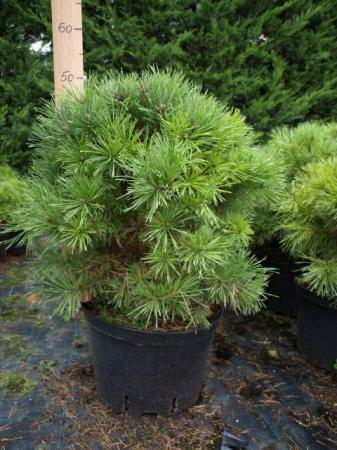 Pinus sylv.´Bevronensis´