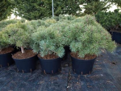Pinus sylv.´Compressa´
