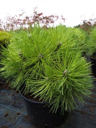 Pinus nigra´Globosa´