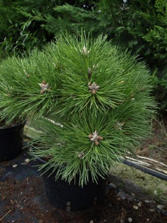 Pinus nigra´Helga´