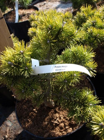 Pinus mugo´Klostengrun´