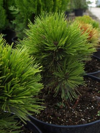 Pinus leucod.´Schmidtii´