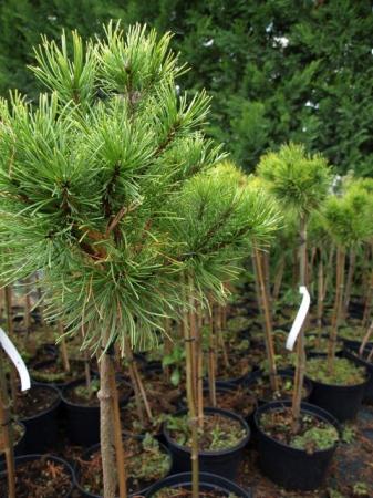 Pinus sylv.´Golden Nugget´