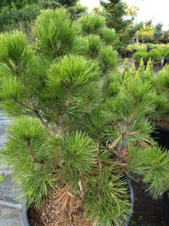 Pinus leucoder.´Satelit´