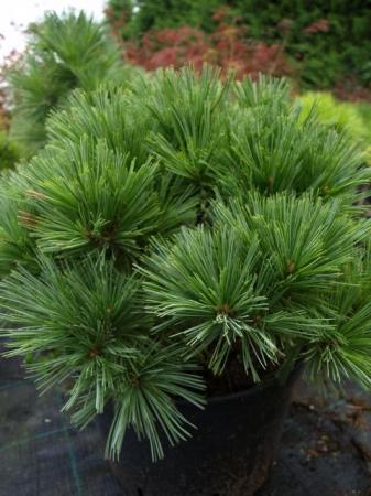 Pinus strobus´Nana´