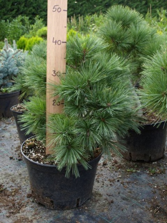 Pinus strobus ´Radiata´