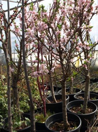 Prunus persica´Balkonella´