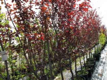 Prunus cerasifera´Nigra´