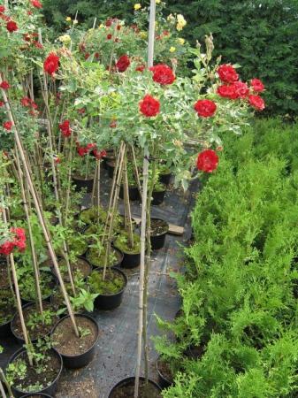 Rosa kmienik v kultivaroch