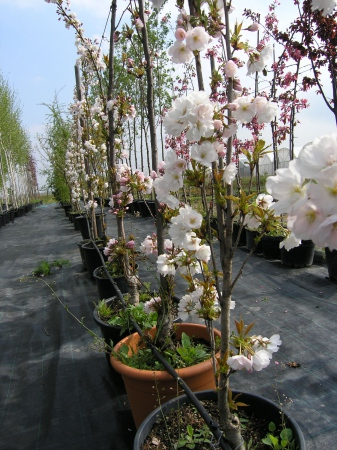 Prunus serr.´Amanogawa´