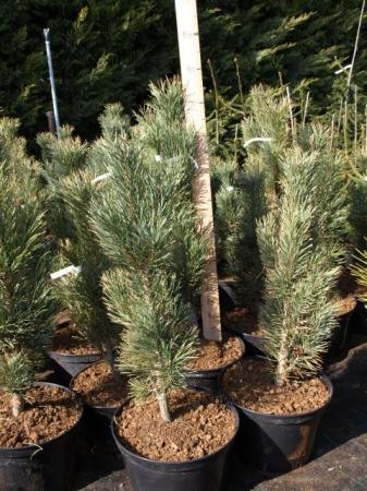 Pinus sylv.´Fastigiata´