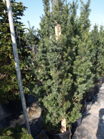 Taxus x media´Hicksii´